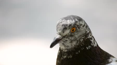 羽毛状の : Pigeon head close-up. Dove head close. Ornithology bird lore. Bird fowl flyer flier close up. Head beak bill pecker pecker eyes feathers plumage feather coverts birdie dicky dickey. Nature wildlife 動画素材