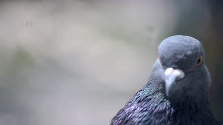 feathered : Pigeon head close-up. Dove head close. Ornithology bird lore. Bird fowl flyer flier close up. Head beak bill pecker pecker eyes feathers plumage feather coverts birdie dicky dickey. Nature wildlife Stock Footage