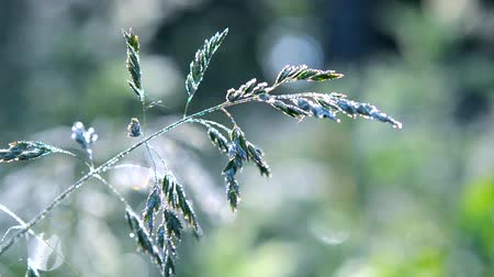 condensa : Green dew-covered grass plant in early in spring summer morning on blurred background. Filmati Stock