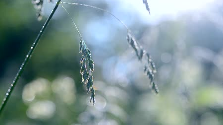 dewy : Green dew-covered grass plant in early in spring summer morning on blurred background. Stock Footage