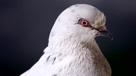 birdie : Pigeon head close-up. Dove head close. Ornithology bird lore. Bird fowl flyer flier close up. Head beak bill pecker pecker eyes feathers plumage feather coverts birdie dicky dickey. Nature wildlife Stock Footage