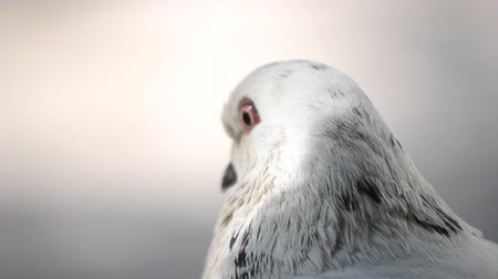 pecker : Pigeon head close-up. Dove head close. Ornithology bird lore. Bird fowl flyer flier close up. Head beak bill pecker pecker eyes feathers plumage feather coverts birdie dicky dickey. Nature wildlife Stock Footage