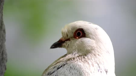 alado : Pigeon head close-up. Dove head close. Ornithology bird lore. Bird fowl flyer flier close up. Head beak bill pecker pecker eyes feathers plumage feather coverts birdie dicky dickey. Nature wildlife Stock Footage