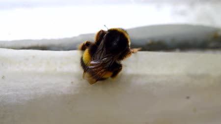 worker bees : Bumblebee close-up on the window frame. Stock Footage