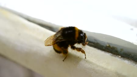 head over : Bumblebee close-up on the window frame. Stock Footage