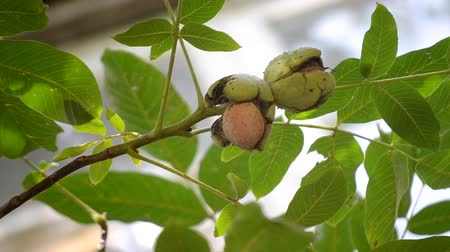 hull : Ripe walnuts in broken peel on branch. Ripe walnut growing on a tree close up. Walnuts on the branch. Nuts on the tree. Cracked walnut peel