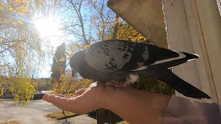 Girl feeds gray pigeon that sits on her palm hand on sunny autumn day. Feeding birds pigeons from hand. POV, point of view close-up. Nature wildlife outdoor yellow leaves sun rays beams sunny blue sky 動画素材