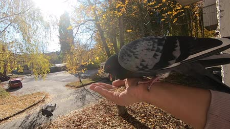 Girl feeds gray pigeon that sits on her palm hand on sunny autumn day. Feeding birds pigeons from hand. POV, point of view close-up. Nature wildlife outdoor yellow leaves sun rays beams sunny blue sky Wideo
