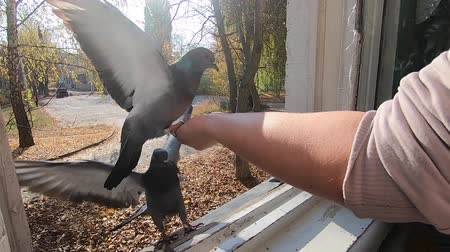 colombe : Girl feeds gray pigeon that sits on her palm hand on sunny autumn day. Feeding birds pigeons from hand. POV, point of view close-up. Nature wildlife outdoor yellow leaves sun rays beams sunny blue sky Filmati Stock