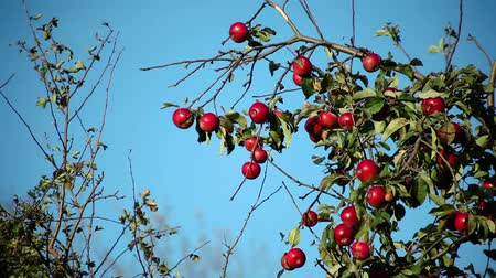 abundante : red ripe apples on an apple tree branch on a sunny day