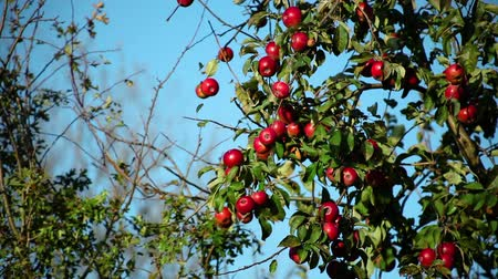 red ripe apples on branches against a blue sky