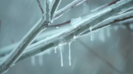 iced tree branch in snowfall with icicles