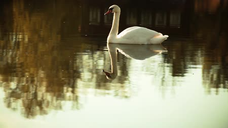 lonely white swan on the pond calm and slow moving in the reflection of the village house in warm colors