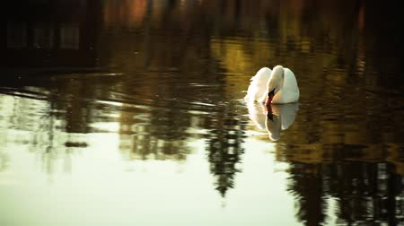 armoni : lone white swan pond drinks water calm slow moving reflection country house warm colors Stok Video
