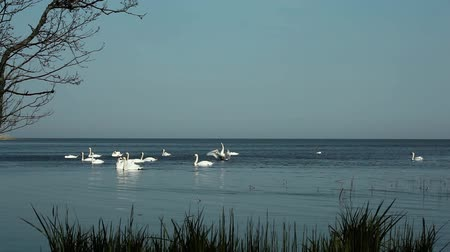 a flock of white swans on the lake in the afternoon slowly swim
