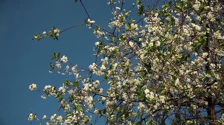 cherry flowers on a branch on a sunny day with young green foliage