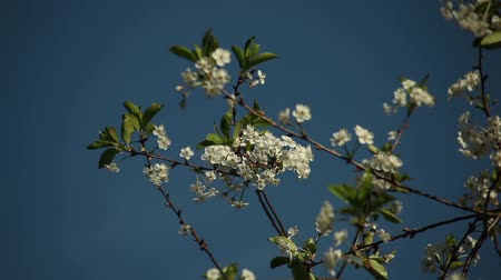 Вишневое дерево : cherry flowers on a branch on a sunny day with young green foliage