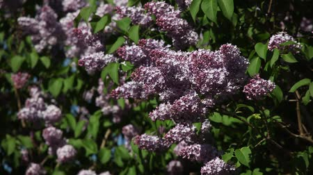 cukorbaj : branches of blossoming lilac lilac on a sunny day in the wind Stock mozgókép