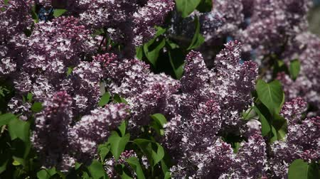 pyramidal : branches of blossoming lilac lilac on a sunny day in the wind Stock Footage