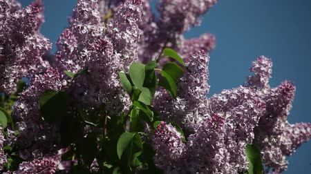 branches of blossoming lilac lilac on a sunny day in the wind Dostupné videozáznamy