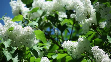 rim : white lilac with fresh green leaves on a branch against a blue sky on a sunny day