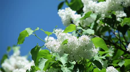 pyramidal : white lilac with fresh green leaves on a branch against a blue sky on a sunny day