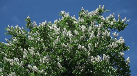 chestnut flowers on tree branches against a blue sky on a sunny day