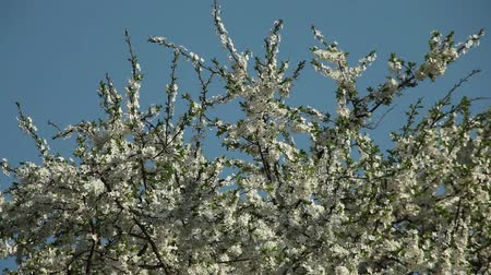 blooming plum tree with white flowers on a sunny day against a blue sky Dostupné videozáznamy