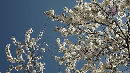 blooblooming plum tree with white flowers on a sunny day