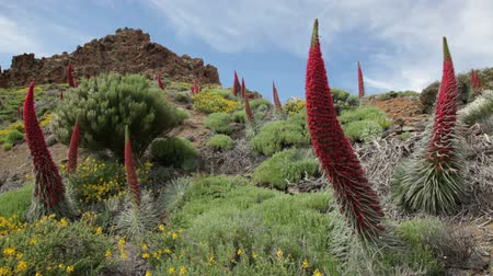 kanarya : Tenerife landscape with plant Echium wildpretii also know as tower of jewels, red bugloss, Tenerife bugloss or Mount Teide bugloss. Video from Teide national park, Canary Islands, Spain.