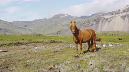 nações : Horse - Icelandic horses on Iceland. Beautiful Icelandic horse standing on field in nature landscape with mountains.