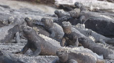 игуана : Galapagos Marine Iguana - Iguanas warming in the sun on volcanic rocks on Fernadina Island, Espinoza Point. Amazing wildlife animals on Galapagos Islands, Ecuador.