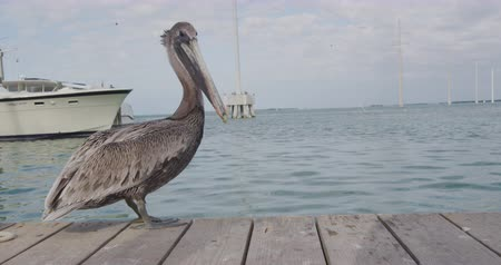 pelikan : Pelican in Florida Keys USA. Animals in Florida.