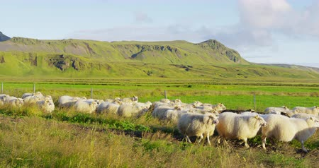 mob : Sheep herd on grass in beautiful Iceland nature landscape. South Icelandic scenery with sheep flock. SLOW MOTION RED EPIC.