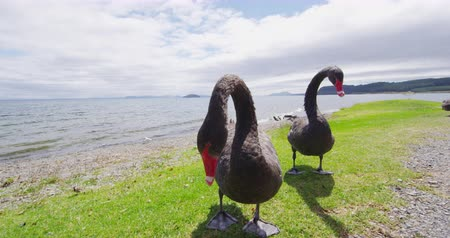 endemic : New Zealand Black Swan. Animals and nature landscape in New Zealand