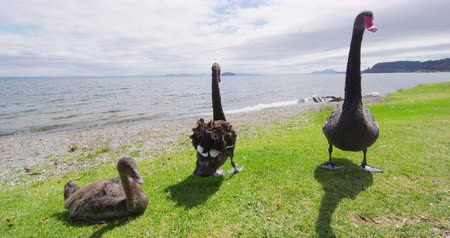 endemic : Black Swans in New Zealand - animals and nature landscape in New Zealand Stock Footage