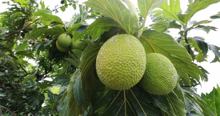 sponka : Breadfruit from French Polynesia travel. Breadfruit is a species of flowering tree in the mulberry and jackfruit family originating in the South Pacific and eventually spreading to the rest of Oceania Dostupné videozáznamy