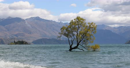 söğüt : Wanaka New Zealand lone tree of Lake Wanaka famous tourist attraction Stok Video