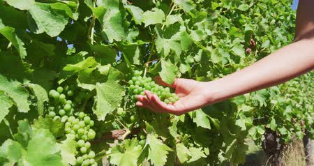 pincészet : Woman touching fresh grapes growing on vines. Female is holding fruits during sunny day. She is at vineyard. SLOW MOTION shot on RED.
