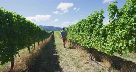 parreira : Vineyard vines at winery. Man walking by grapevines in scenic vineyard. Young farmer is walking by vines and farm in summer.