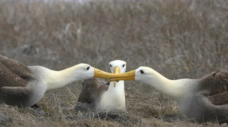 морских птиц : Galapagos Alabatross aka Waved albatrosses mating dance courtship ritual on Espanola Island, Galapagos Islands, Ecuador. The Waved Albatross is an critically endangered species endemic to Galapagos.