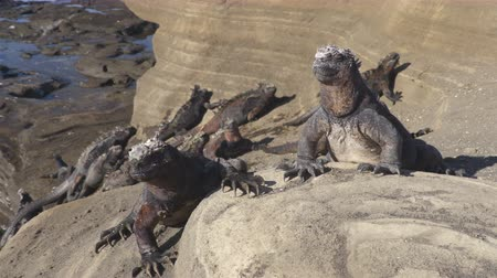 cristatus : Galapagos Marine Iguana - Iguanas warming in the sun on volcanic rocks on Puerto Egas (Egas port) Santiago island, Ecuador. Amazing wildlife animals on Galapagos Islands, Ecuador. Stock Footage