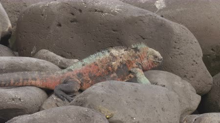 ecuador : Christmas Iguana on Espanola Island on Galapagos Islands. Male Marine Iguana bobbing and shaking head. Amazing animals wildlife and nature on Galapagos islands, Ecuador, South America.