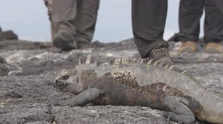 cristatus : Galapagos Marine Iguana shaking and bobbing its head walking showing threat and dominance, sneezing excreting salt by nose with tourists in background. Male marine iguana on Galapagos Islands Stock Footage