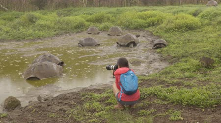 mud bath : Galapagos Giant Tortoise on Santa Cruz Island in Galapagos Islands. Tourist photographer by group of many Galapagos tortoises cooling of in water hole. Animals, nature and wildlife video, Galapagos.