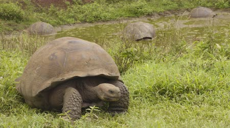 mud bath : Galapagos Giant Tortoise walking on Santa Cruz Island in Galapagos Islands. Group of many Galapagos tortoises cool of in water hole. Animals, nature and wildlife video from Galapagos Islands highlands