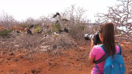 equador : Bird photographer taking pictures of Frigatebirds birds nests - Galapagos tourist. Group of Magnificent Frigate-bird aka frigate birds inlc. baby nestlings on North Seymour Island, Isla Seymour Norte