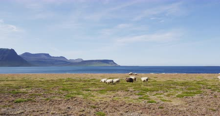 juhászkutya : Sheep herd on grass in beautiful Iceland nature landscape Stock mozgókép