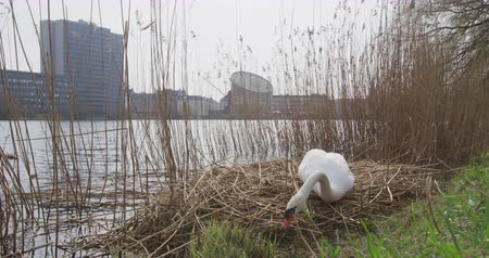 régi : Copenhagen Denmark - swan building nest in city center at lake.