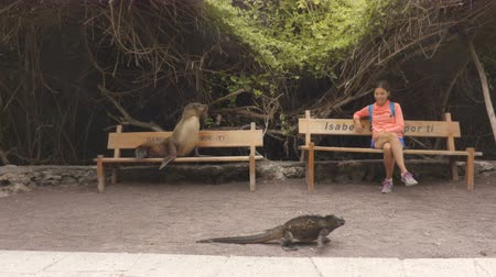 игуана : Galapagos animals. Tourist woman sitting on bench with sea lion and iguana on Isabela Island in the port of Puerto Villamil, Galapagos Islands, Ecuador, South America. Стоковые видеозаписи
